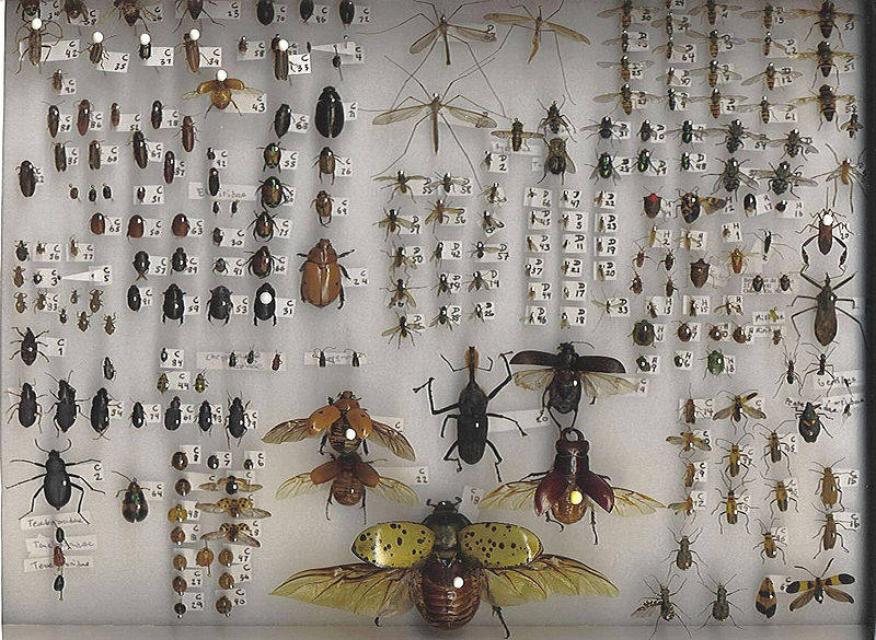 Collection d'insectes de Debivort, partagée sur Wikipedia